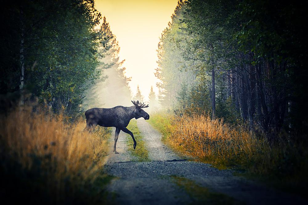 Älg i Jämtland